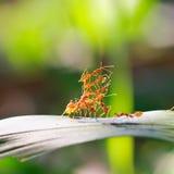 蚂蚁绿色本质红色配合 免版税库存照片