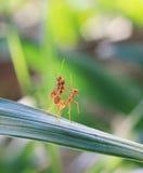 蚂蚁绿色本质红色配合 免版税图库摄影