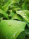蚂蚁&露水 免版税库存图片