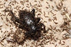 蚂蚁 图库摄影