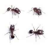 蚂蚁 库存照片