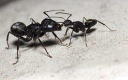 蚂蚁 库存图片