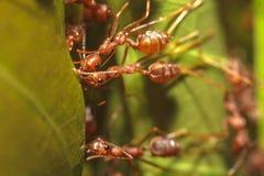 蚂蚁 免版税库存图片