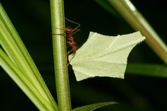 蚂蚁atta剪切叶子 图库摄影