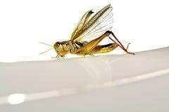 蚂蚱其分布的翼 库存照片