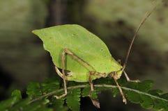蚂蚱叶子 免版税库存照片