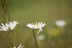蚂蚱和雏菊 库存图片