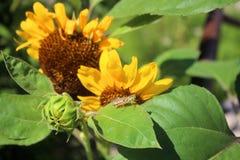 蚂蚱坐向日葵叶子 免版税库存照片