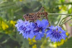 蚂蚱坐开花的矢车菊 免版税库存照片