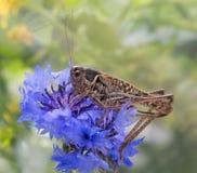 蚂蚱坐开花的矢车菊 库存图片