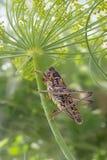 蚂蚱坐开花的莳萝 免版税图库摄影