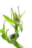 蚂蚱坐白色背景的一棵植物 图库摄影