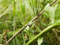 蚂蚱坐草 库存图片