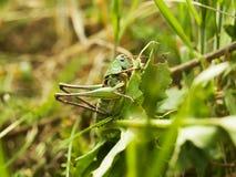 蚂蚱坐草 库存照片