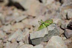 蚂蚱岩石 库存图片