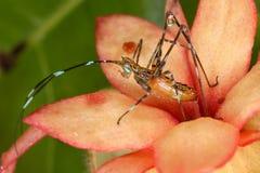 蚂蚱幼虫 免版税库存图片