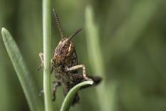 蚂蚱的宏观照片 免版税库存照片