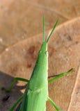 蚂蚱绿色 库存照片