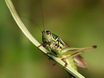 蚂蚱绿色 免版税库存照片