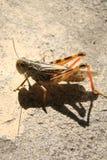 蚂蚱,在路面的蚂蚱 库存照片