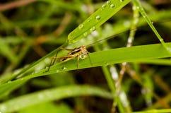 蚂蚱从水滴喝 库存照片