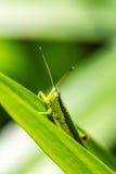 蚂蚱绿色叶子 免版税库存图片