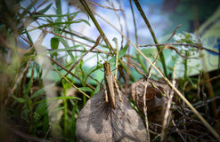蚂蚱 库存图片