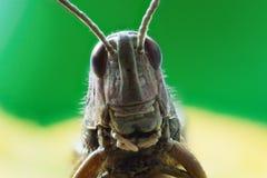 蚂蚱 免版税库存图片