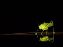 蚂蚱 库存照片