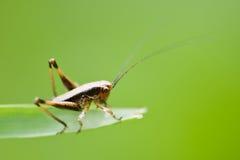 蚂蚱 图库摄影