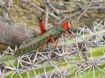 蚂蚱Phymateus品种 免版税图库摄影