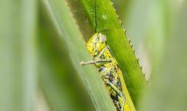 蚂蚱Valanga nigricornis 库存图片