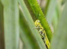 蚂蚱Valanga nigricornis 免版税库存照片