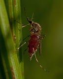 蚊子伊蚊属cantans有吮血液 免版税库存照片