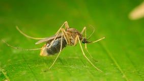 蚊子侧视图 免版税库存图片