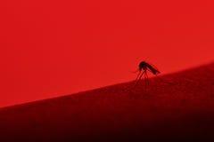 蚊子吮的血液宏指令  库存图片