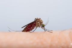 蚊子吮的血液 免版税库存照片