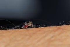 蚊子吮血液 免版税库存图片