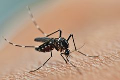 蚊子吮 免版税库存图片