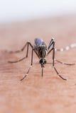 蚊子咬住 免版税图库摄影