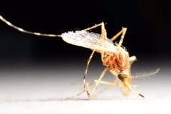 蚊子喝血液在人外面 免版税库存图片