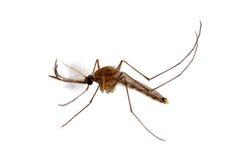 蚊子在白色背景中 免版税库存照片