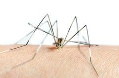 蚊子宏指令在皮肤的和蚊子吮血液 库存照片