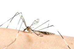 蚊子宏指令在皮肤的和蚊子吮血液 免版税库存图片