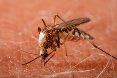 蚊子尖酸的人的皮肤 库存图片