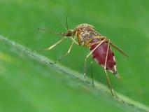 蚊子狼吞虎咽与血液 图库摄影