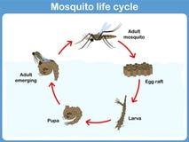 蚊子的传染媒介周期孩子的 库存图片
