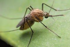 蚊子蚊子 免版税库存照片