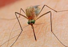 蚊子血液猎人人的昆虫 图库摄影