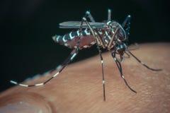 蚊子(伊蚊属aegypti)吮血液的宏指令 库存图片